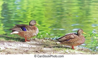 Ducks by the lake on a beautiful summer day in Maksimir...