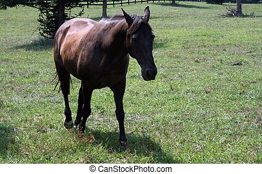 Brown Horse walking in pasture - a beautiful brown horse as...