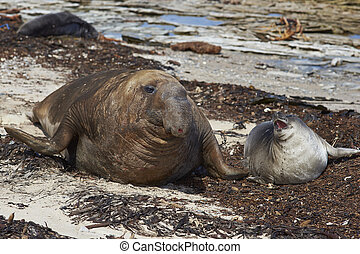 Southern Elephant Seal - Male Southern Elephant Seal...
