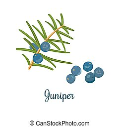 Branch of Juniper with berries. Vector color engraving...