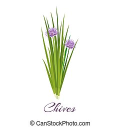 Blossoming chives color vector illustration. Allium...