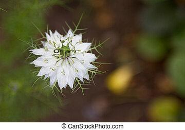 white flower Nigella - Nigella white flower on a background...