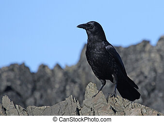 Northwestern Crow - A Northwestern Crow (Corvus caurinus),...