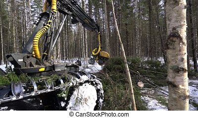 Timber industry. Logger cuts spruces in forest - Timber...