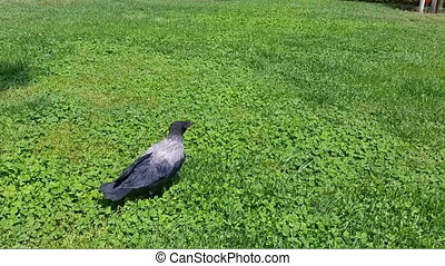 Young crow walking on the grass