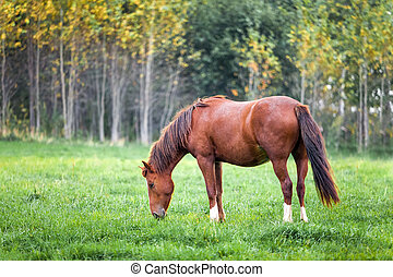 Horse grazing in a meadow near a forest - Horse grazing in a...