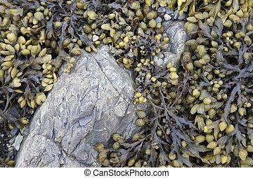 Bladderwrack, Fucus vesiculosus - Bladderwrack seaweed