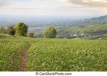 Broad beans field, Gloucestershire, England - Path through a...