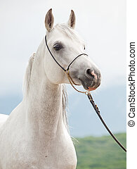 portrait of white arabian stallion. - portrait of white...