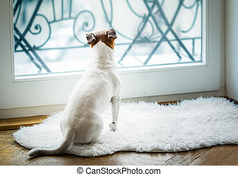 dog thinking and watching and hoping - Jack russell dog...