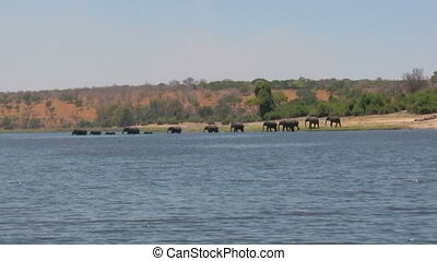 Herd of african elephants fording Chobe River in Botswana
