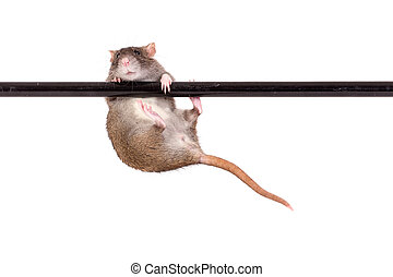 domestic rat on crossbar - domestic rat on black crossbar,...