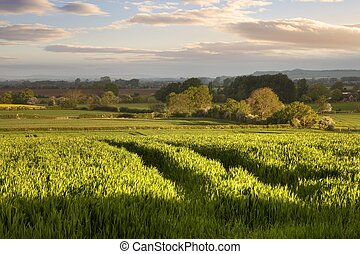 Warwickshire countryside - Crops growing near the...