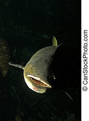 cobia fish - Cobia (Rachycentron canadum) are perciform...