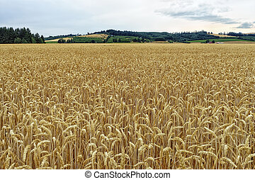 CORN FIELD IN UNITED STATES OF AMERICA - The original corn...
