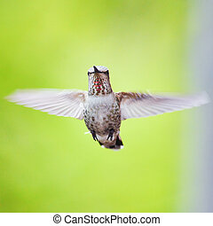 HUMMING BIRD HOVERING - times per second) that they make a...