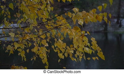 Pigmented yellow autumn birch leaves dangle in the wind.