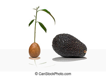 Avocado, tree, seed - Avocado tree from a seed