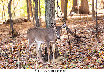 Young Whitetailed Deer Doe - A young whitetailed deer doe...