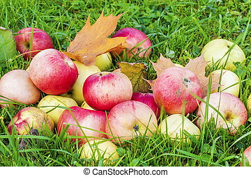 Autumn apples in grass