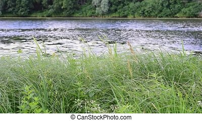 Green sedge, reed and grass on background of river - Vibrant...