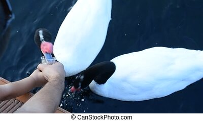 Hands of father and child feeding black necked swans - Hands...