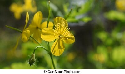 Flower of greater celandine on blurred background