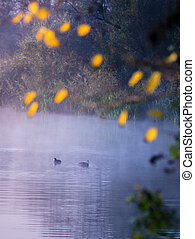 Duck though the morning mist - pair of ducks coots in the...
