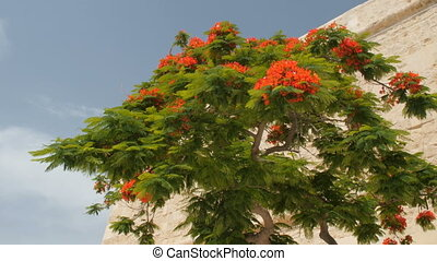 Tree of delonix regia, Malta, Valletta. - Red flowered tree...