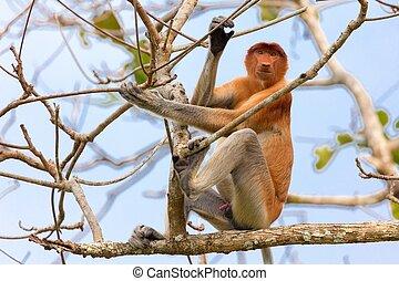 Proboscis monkey in borneo jungle - Proboscis monkey...