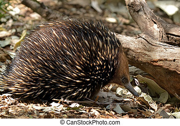 Australian Echidna search for foodin the bush - Echidna (...