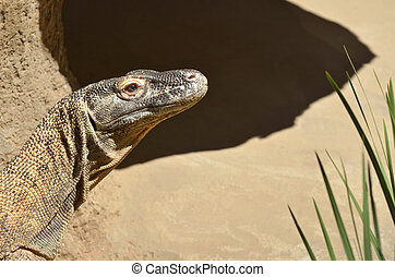 Komodo dragon portrait  in Komodo Island,  Indonesia