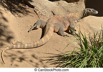 Komodo dragon full body in Komodo Island,  Indonesia