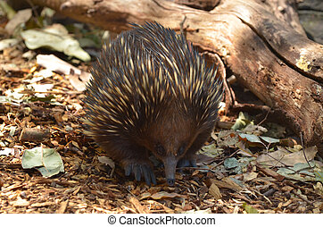 Australian Echidna Walks in the bush - Echidna ( spiny...