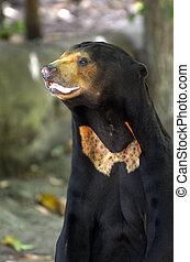 Sun bear standing, found in tropical forest habitats of...