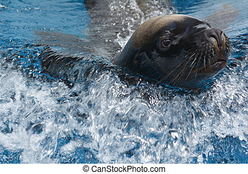 California sea lion swim in water.