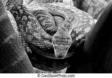 Pythonidae Python Snake - Australian Python Snake....