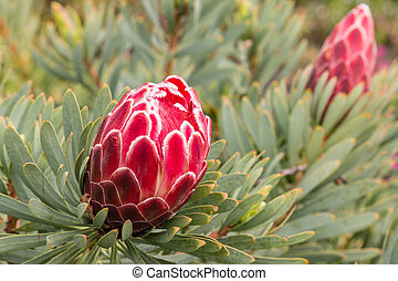 red protea flower and bud - closeup of red protea flower and...