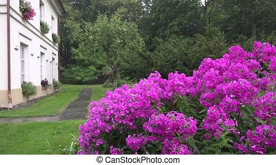 Pink phlox flower bed and heavy rain water drops fall on plant blooms near residential house. 4K