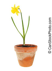 Daffodil plant in a pot - Daffodil plant and flower in a...