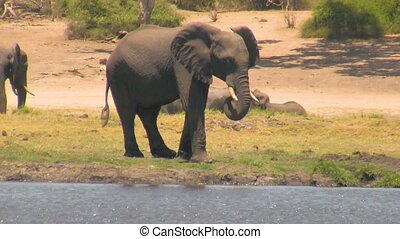 African elephant at river on sunny day. Hendheld shot from...