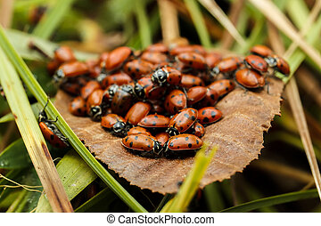 Cluster of lady bugs on a brown leaf - Cluster of lady bugs...