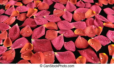 Beautiful rose petals with dew drops blown by by the wind,...