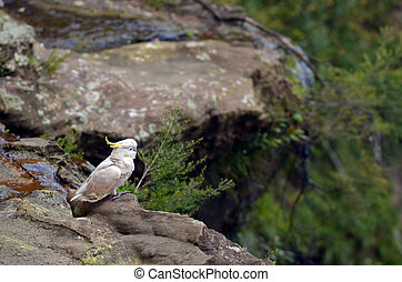Cockatoo Jamison Valley New South Wales Australia - One...