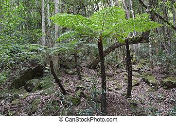 Silver tree-fern grows in the rainforest - Cyathea dealbata,...