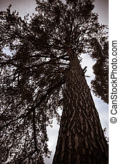 Looking up at a silhouette of long and mighty tree