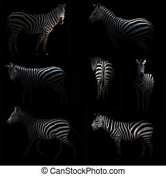zebra hiding in the dark with spotlight
