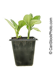 Broad bean seedlings - Two broad bean seedlings in a pot...
