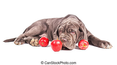 Young puppy italian mastiff cane corso and red apples on...