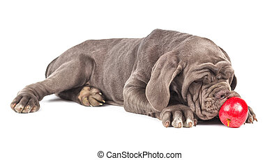 Young puppy italian mastiff cane corso playing with the red...